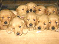 A whelping box with nine puppies.