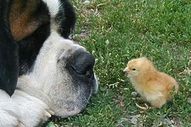 A big dog watching a newly hatched chiken.