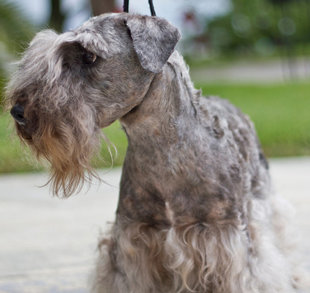 This picture shows a Cesky Terrier.
