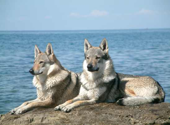 THIS BEUTIFUF PAIR OF DOGS ARE CALLED CZRCHOSLOVAKIAN WOLFDOGS