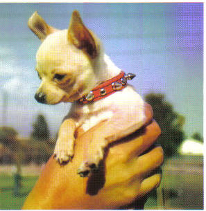 A hand is holing up a Chihuahua Dog